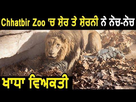 Xxx Mp4 Chattbir Zoo में शेर और शेरनी ने नोच नोच मार डाला युवक 3gp Sex