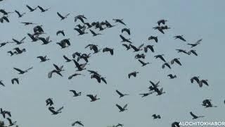 JahangirnagarUniversitymigratoryBird। অতিথি পাখির কলকাকলি ক্যাম্পাসের সবাইকে  মুগ্ধ করে