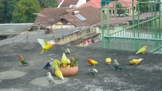 Angon Lovebird | Karena Angon BEBEK Sudah Terlalu Mainstream