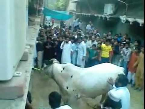 qurbani cow worth RS. 200.000 at Sant Nager LAhore 2011