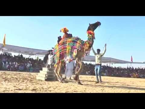 CAMEL DANCE II CAMEL FESTIVAL BIKANER II RAJASTHANI CULTURAL FESTIVAL