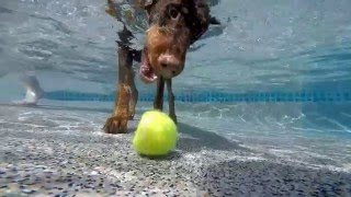 Doberman Rip dives underwater to get his dog toy tennis ball - slow motion