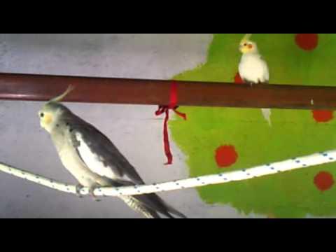 Ninfa y Canario timbrado cantando a duo