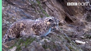 Snow Leopard: First Intimate Images In The Wild | Planet Earth | BBC Earth