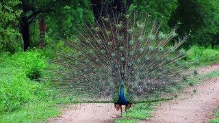 Most Amazing and Beautiful Peacock In the World