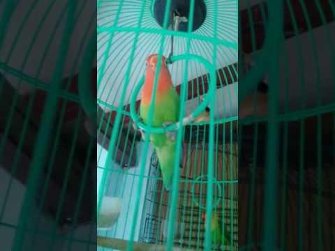 Download Lovebird salem free