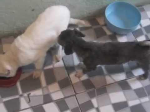 cachorro no cio precisa de parceira urgente