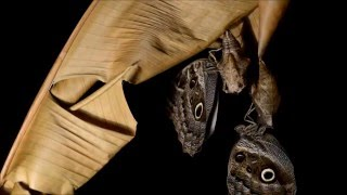 Creature Clip - Owl Butterfly Metamorphosis in time lapse: from Caterpillar to Butterfly