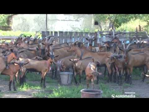 Alpino koze 363 30.08.2014.