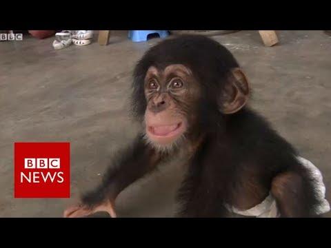 Xxx Mp4 BBC Helps Bust Nepal Chimp Smuggling BBC News 3gp Sex