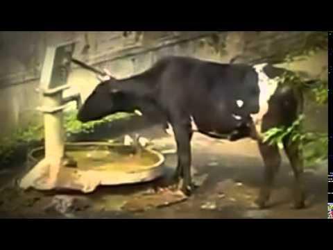 Funny intelligent Cow