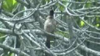 Red-Whiskered Bulbul bird singing / calling sound
