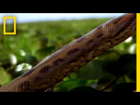 Best '08! Anaconda Hunts | National Geographic
