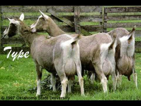 Popular Goat Breeds
