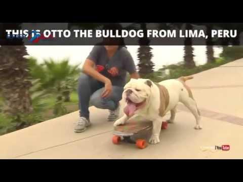 Xxx Mp4 Aksi Anjing Buldog Pecahkan Rekor Dunia Bermain Skateboard 3gp Sex