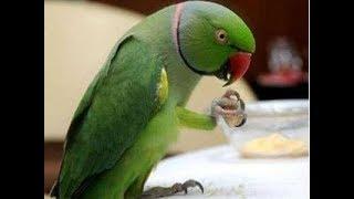 Parrot Talking (Mithu)