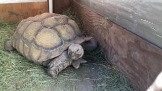 Outdoor DIY Sulcata Tortoise Housing In Cooler Climates