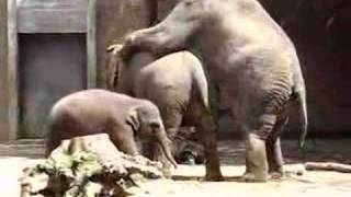 Elephant sex 2