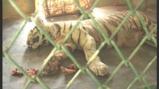 White Tiger vs King Cobra Fight to Death on 27 December 2014