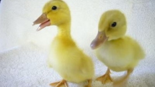 Cute Duckling - Funny Baby Duck Videos Compilation [CUTE]