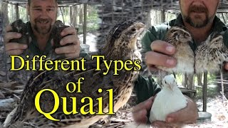 Different Breeds/Types of Coturnix Japanese Quail
