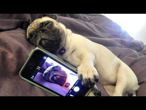 Funny Dogs but only Pug Videos | Pug Compilation 4 - InstaPugs