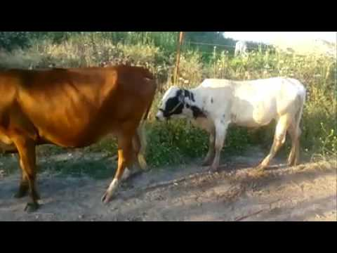 Xxx Mp4 Cow Sexy Video 3gp Sex