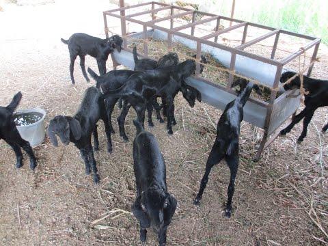 Broiler type Goat farm