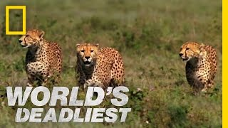Cheetah Brothers' Takedown | World's Deadliest