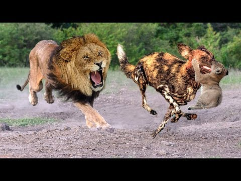 Xxx Mp4 Mother Lion Save Lion Cubs From 10 Wild Dogs Epic Battle Wild Dogs Vs Lion 3gp Sex