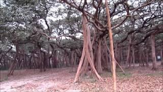 GREAT BANYAN TREE AT BOTANICAL GARDEN KOLKTA 2016