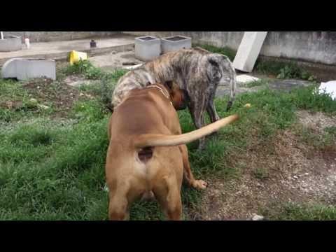 Ehdzi i Aron parenje Dogo Canario Dogs Mating