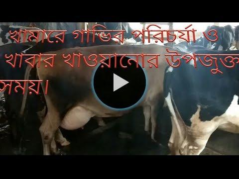 Xxx Mp4 ঢাকার খামার থেকে বাচ্চাসহ গাভি কিনতে দেখুন।Watch To Buy Mother Cow From Dhaka S Farm 3gp Sex