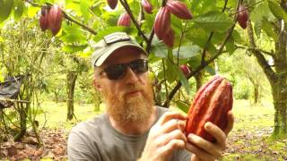 Making Chocolate: Cacao Tree To Chocolate Bar