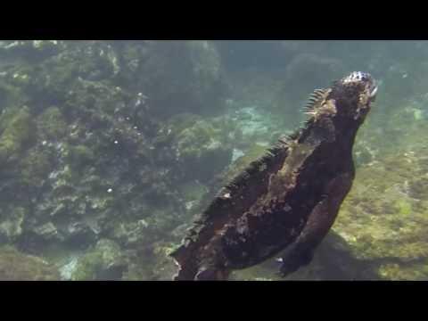 Marine Iguanas chased by Sea Lion pups!