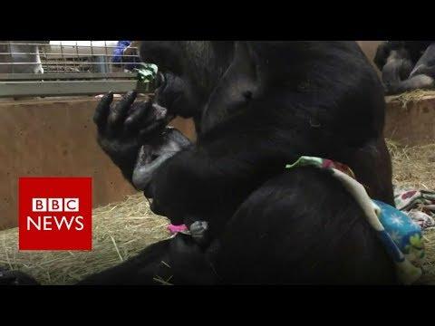 Xxx Mp4 Gorilla Gives Birth At Smithsonian National Zoo BBC News 3gp Sex