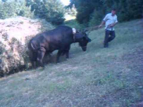 Anatolian Buffalo Water Buffalo