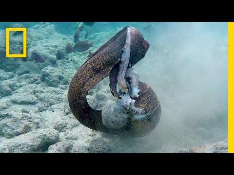 Xxx Mp4 Eel Vs Octopus Then Eel Vs Cameraman National Geographic 3gp Sex