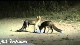 Foxes and Foxes  ( Zorros y Zorras de CanCanyameras) (sentmenat BCN)