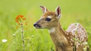 The Private Life of Deer - Amazing Nature Documentary (HD)