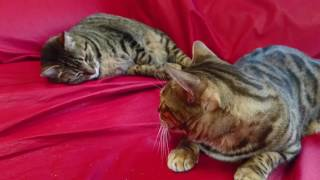 ベンガル猫ラティアスとミッキー君のあと数センチ近くに行ってニャン