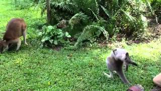 kangoroo gorilla