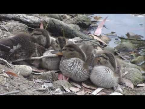 Very cute baby ducklings - with beautiful, relaxing Classical music