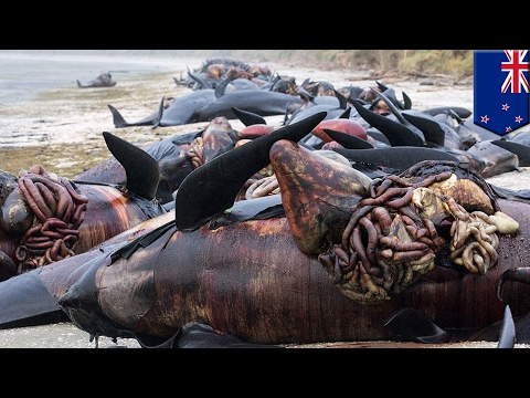 Whale explosion Hundreds of New Zealand whale carcasses punctured to prevent popping TomoNews