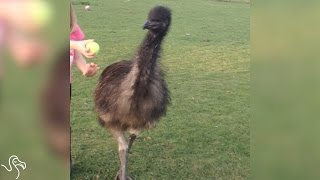This Emu Loves To Play Fetch Just Like A Dog