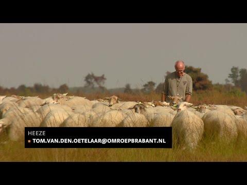 Schaapherder in de knel: crowdfunding om heide te behouden