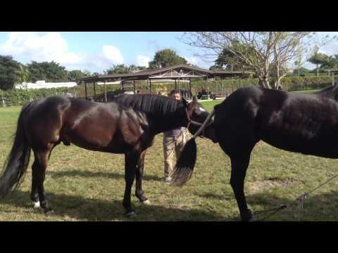 Miami Quarter Horse