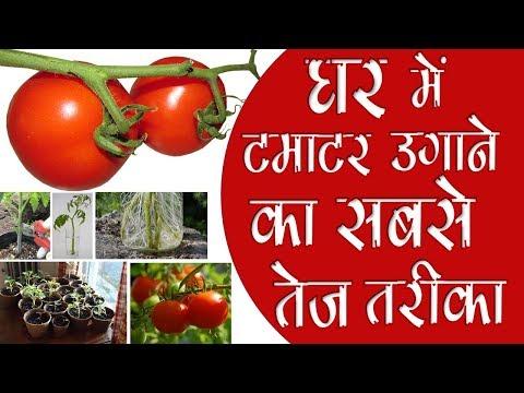 Xxx Mp4 घर में टमाटर उगाने का सबसे तेज तरीका Fastest Way To Grow Tomato 3gp Sex