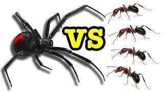 Killer Spider Vs Killer Ants The Ultimate Bug Battle 🕷 😵 🐜