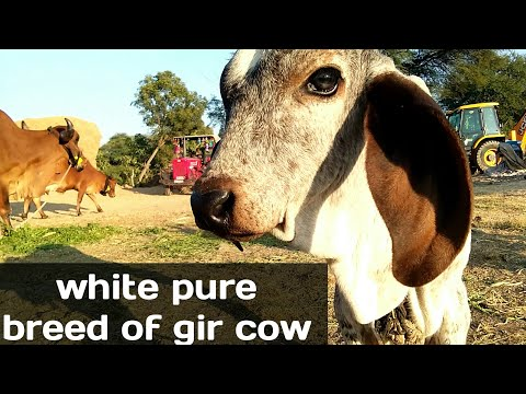 Xxx Mp4 White Pure Breed Of Gir Cow Here Madhya Pradesh 3gp Sex